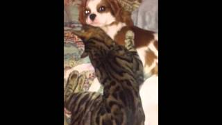 Bindi The Bengal Cat With His Best Friend Who Is A Cavalier King Charles Spaniel