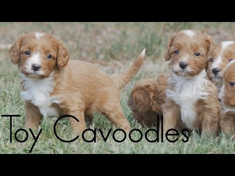 Beautiful Red Toy Cavoodle Puppies out on the lawn