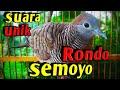 Perkutut Lokal Suara Khas Dan Berirama Cocok Untuk Masteran Rondo Semoyo  Mp3 - Mp4 Download