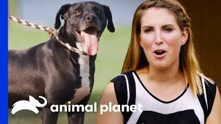 First Time Adopter Completely Falls In Love With Jasco | Pit Bulls & Parolees