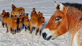 Лошади Пржевальского зимой в Чернобыльской зоне | Film Studio Aves