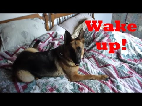 GERMAN SHEPHERD WAKE UP