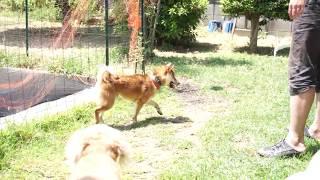 保護犬の小さな柴犬シバ男 芝の水やり中に乱入 水遊び大好き.
