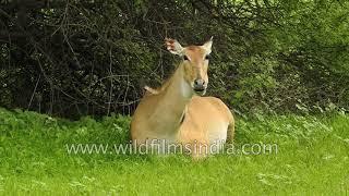 Female Bluebull antelope chews cud