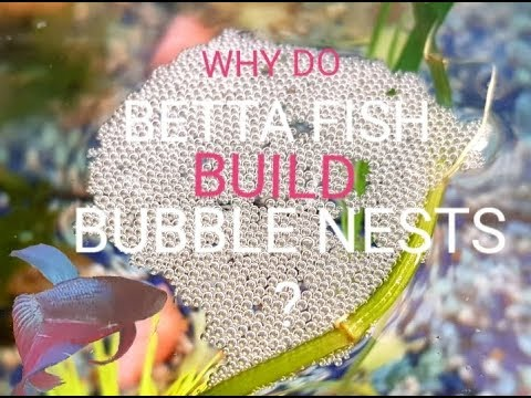 WHY Do BETTA FISH Build BUBBLE NEST's