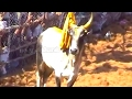 Alanganallur Jallikattu video