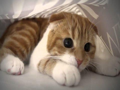 Munchkin Cat Breed Information About Short Legged Munchkin Cats Youtube