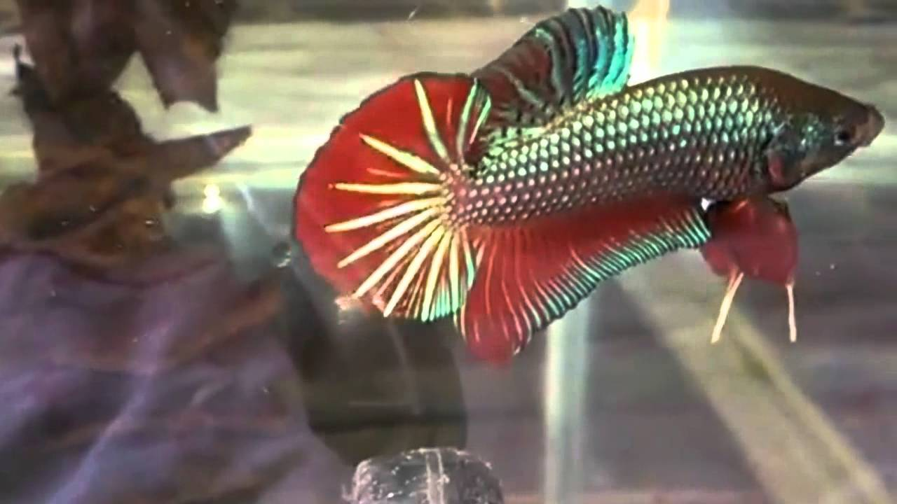 Betta - Baby Giant Besgel Fish Nice Picture # Aquatic Fish Pet - YouTube