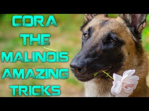 Cora the Malinois - Amazing tricks!
