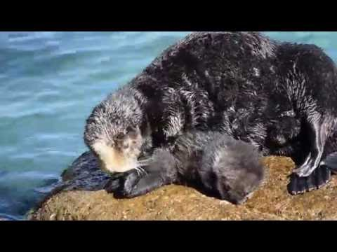 Mother Otter Protects Baby