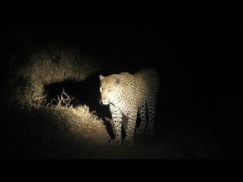 Leopard Spotted in Junnar|Otur| Pune