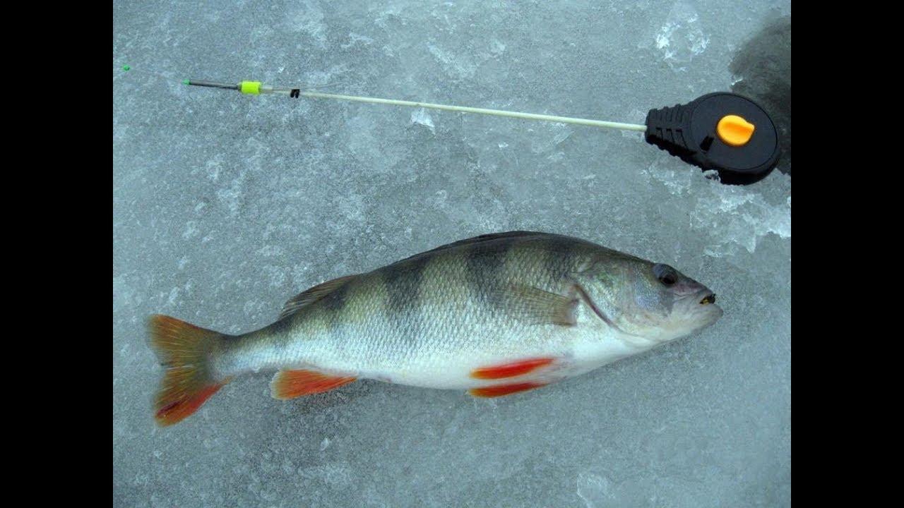 Ловля окуня зимой на мормышку. Рыбалка в декабре, январе, феврале