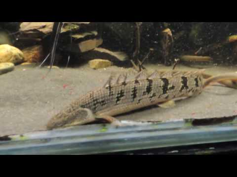 Bichir Ropefish Tyretrack Eel Feeding Time