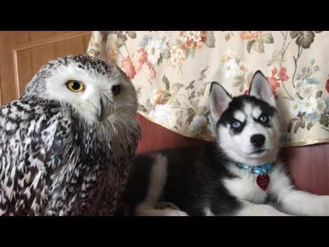 Husky & owl have a rest together,N'usha after bathroom))(snowy owl N'usha & husky Ilona)сова и хаски