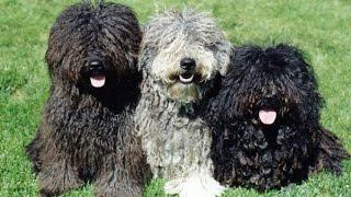 Собаки породы Пули!