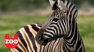 Play Zebra