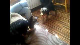 Yorkshire Terrier Kenzo  Airedale Terrier Xsara Puppies Play