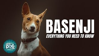 Basenji Dog Breed Guide | Dogs 101   Basenji Puppies to Adults