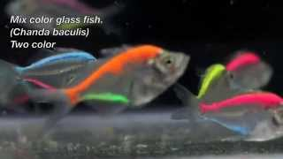 Color Glass Fish / Aquarium Fish Exporter