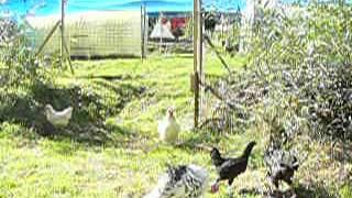 Puten, Hühner und das neue Gehege