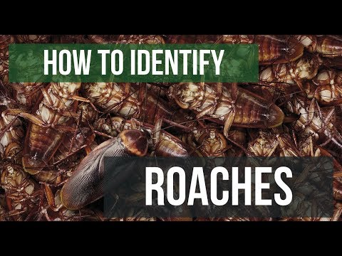 Quick Solutions: How to Identify Cockroaches