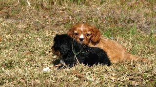 Cavalier King Charles Spaniel, Puppies, For, Sale, In, Dover, Delaware, De, Long Neck, Ocean View, W
