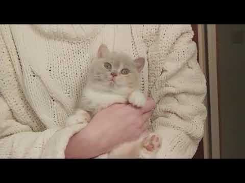 British Shorthair. I like to be high and close to people * cattery Calmcat