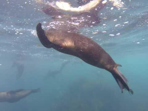Snorkelling with Seals in Cape Bridgewater Victoria