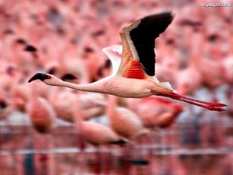 Kenia safari. Lake Nakuru National Park. Amazing Wildlife. Holiday in Kenya. 4K. Pink Flamingos.