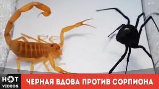 Черная вдова против скорпиона... ( HOT VIDEOS | Смотреть видео HD )