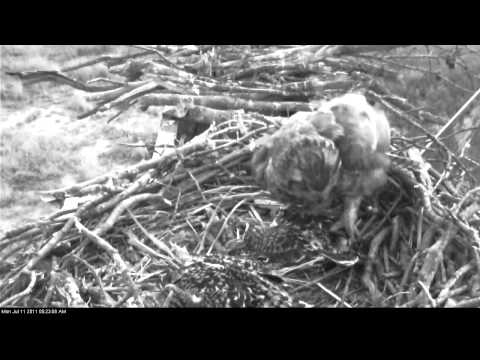 Great Horned Owl Attack of The Osprey Nest of Terrapin Cove