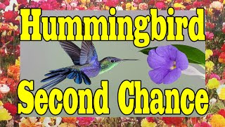Hummingbird Second Chance MUST SEE FEEL GOOD VIDEO !!!! ORIGINAL