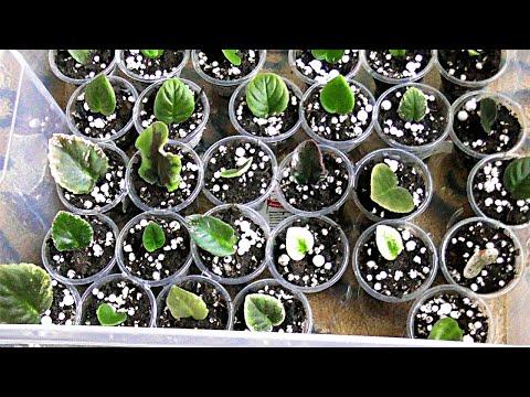 Фиалка от листа до цветения.(часть 1)Укореняем черенки.