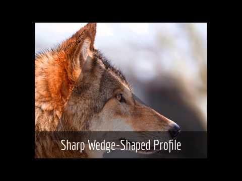 Wolf & Dog Identification: The Red Riding Hood Method - YouTube