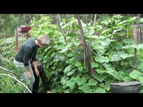 Огурчики в открытом грунте. Опыт садоводов в Сибири.