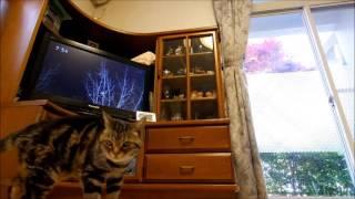 父猫メンチ、NHKさわやか自然百景視聴。 ペンタックスQ-S1、08 WIDE ZOO...