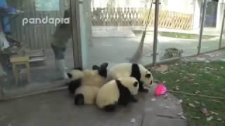 Непослушные панды.