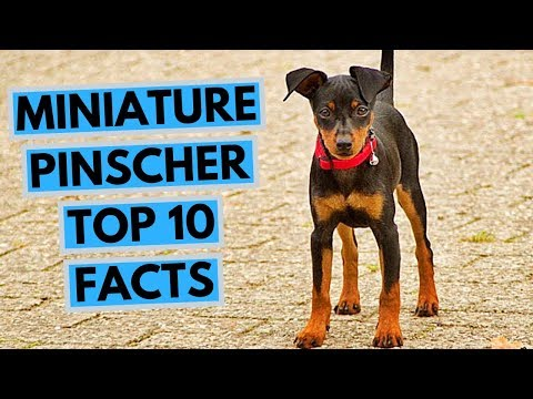 Miniature pinscher - TOP 10 Interesting Facts
