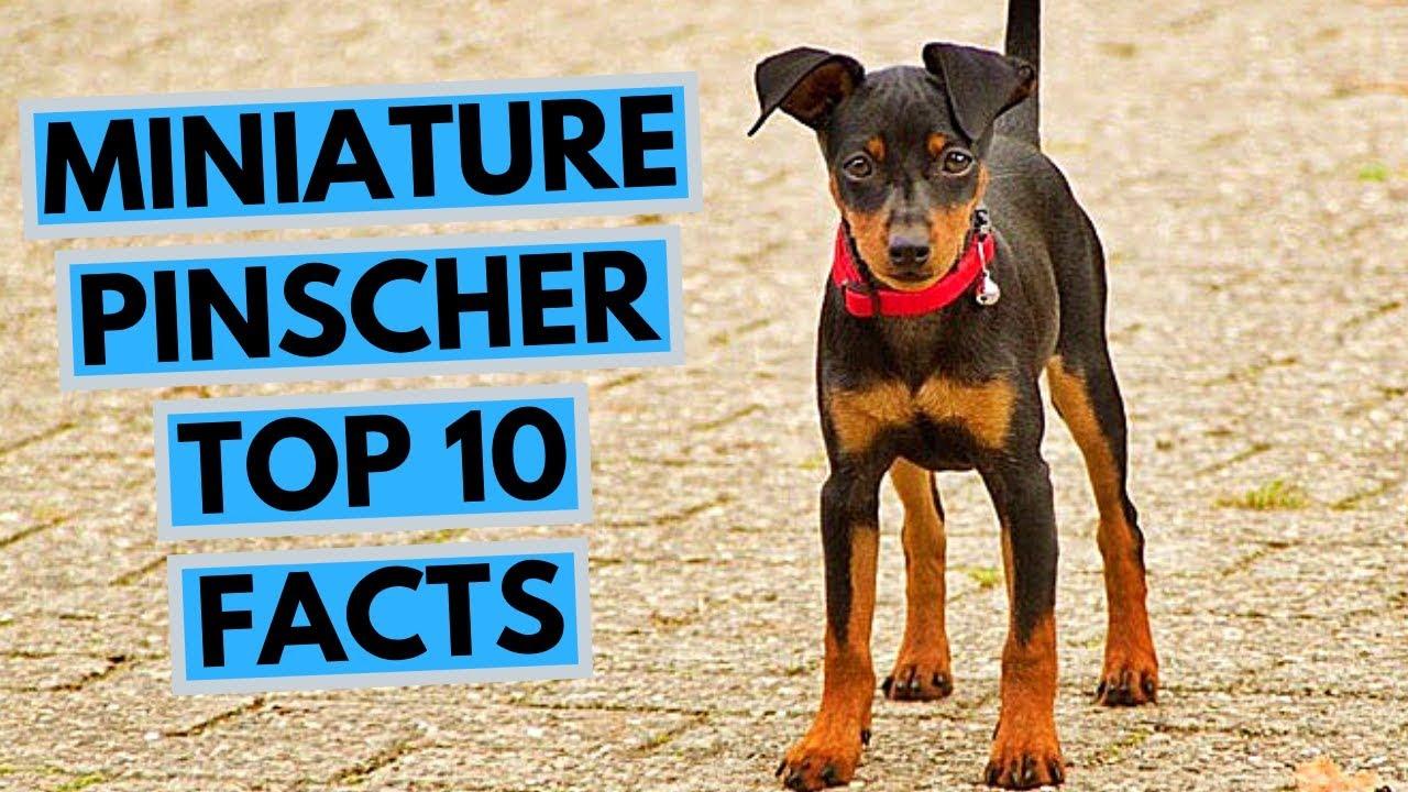 Miniature Pinscher Top 10 Interesting