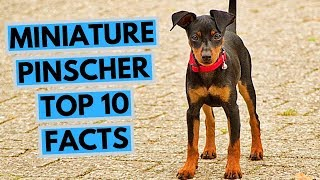 Miniature pinscher  TOP 10 Interesting Facts