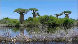 The Baobab Trees (Madagascar)
