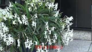 風蘭大株2012.6 Japanese orchid