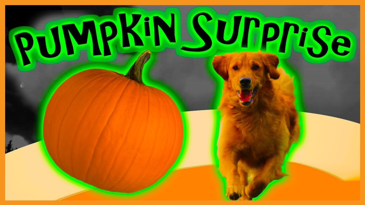pumpkin surprise!!! hidden surprise inside halloween pumpkin. w/ bo