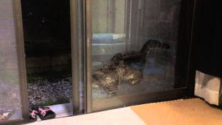 脱走しようとして 網戸にはさまった猫 バカだけどかわいすぎる thumbnail