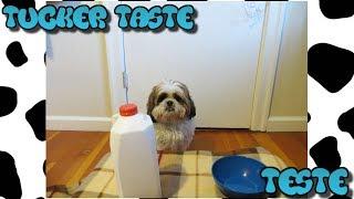 ASMR Dog reviewing milk|Tucker taste test #2
