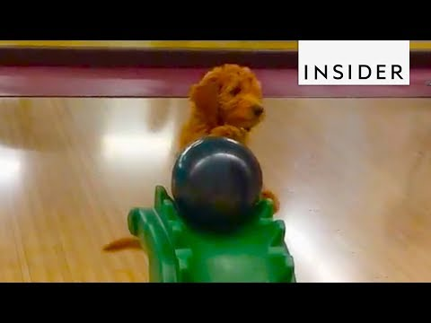 Dog Loves To Go Bowling