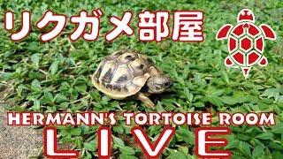 リクガメ部屋ライブ映像配信 Hermann's tortoise room 【hunk schnitter ハンクさん】LIVE CAMERA2019.1.17 thumbnail