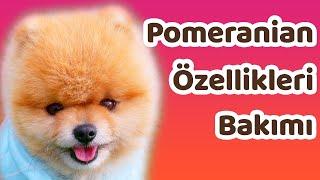 Pomeranian özellikleri, bakımı ve beslenmesi