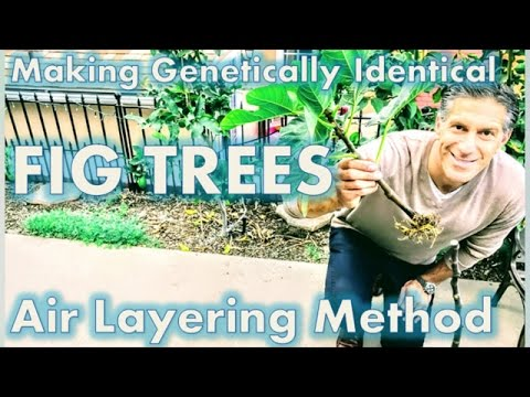 Make Genetically Identical (FIG) Trees -- Air Layering Method
