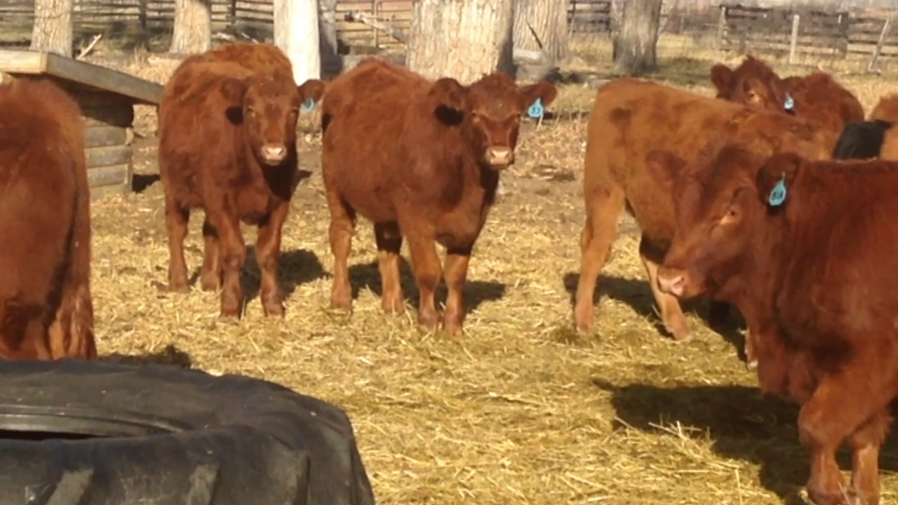 2016 - Ten Cent Ranch - Feeder Steers for Sale - YouTube
